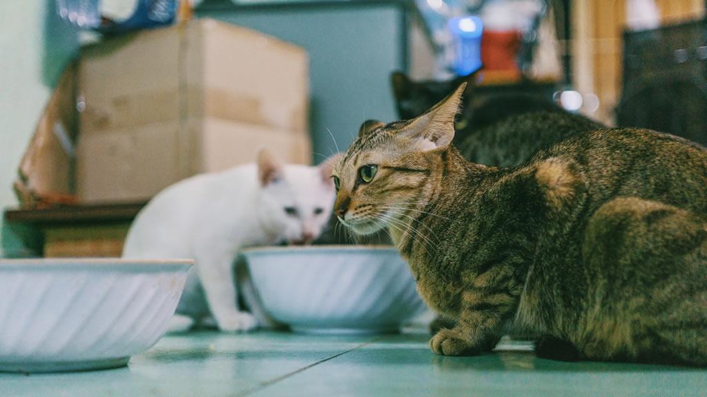 Gatos tomando leche