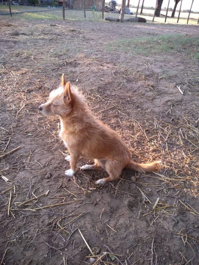 Candy perra perdida en Santa Rosa